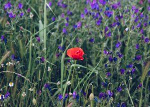 red flower in a field of purple flowers